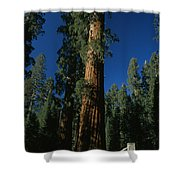 A Giant Sequoia Tree Towers Shower Curtain