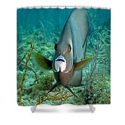 A Gray Angelfish In The Shallow Waters Shower Curtain by Michael Wood