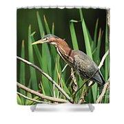 A Green Heron Stalks Prey Shower Curtain