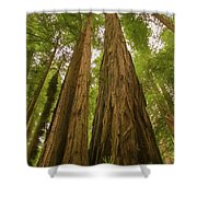 A Group Giant Redwood Trees In Muir Woods,california. Reaching F Shower Curtain