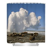 A Group Of American Bison Rest Shower Curtain