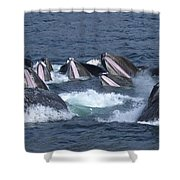 A Group Of Humpback Whales Bubble Net Shower Curtain