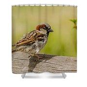 A House Sparrow Shower Curtain