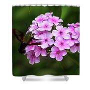 A Hummingbird Moth With Phlox Flowers Shower Curtain