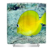 A Juvenile Blue Tang Searching Shower Curtain