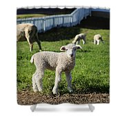A Longwool Lamb Shower Curtain