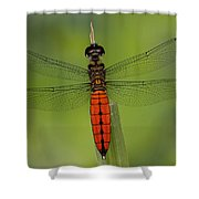 A Male Forest Chaser Dragonfly Rests Shower Curtain