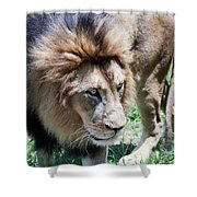 A Male Lion, Panthera Leo, King Of Beasts Shower Curtain