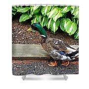 A Male Mallard Duck 4 Shower Curtain