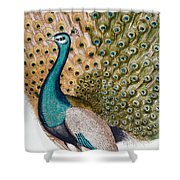 A Male Peacock In Full Display, 1763 Shower Curtain