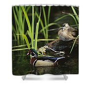 A Male Wood Duck Swims Past Its Mate Shower Curtain
