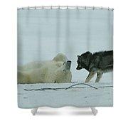 A Polar Bear Lolls On His Back While Shower Curtain