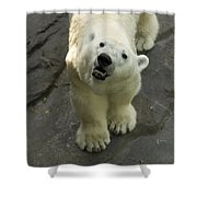 A Polar Bear Looks Up At Its Observers Shower Curtain