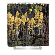 A Ponderosa Pine Tree Among Aspen Trees Shower Curtain