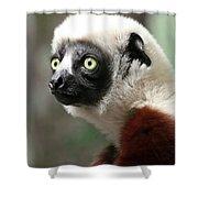 A Portrait Of A Sifaka Primate, A Large Lemur Shower Curtain