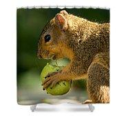A Red Fox Squirrel Chews On A Walnut Shower Curtain