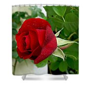 A Red Rose In The Dew Of Pearls Hours Shower Curtain