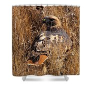 A Red Tailed Hawk  Shower Curtain