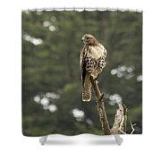 A Red-tailed Hawk Juvenile Shower Curtain