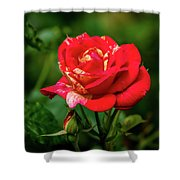 A Rose In Los Gatos Shower Curtain