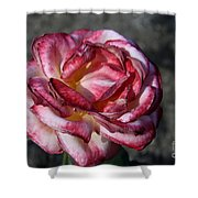 A Rose Of Different Shades Of Red Shower Curtain