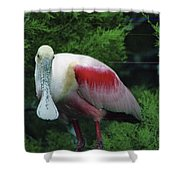 A Roseate Spoonbill Along The Gulf Shower Curtain