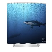 A Sand Tiger Shark And School Of Cigar Shower Curtain