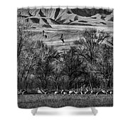A Sedge Of Sandhill Cranes Shower Curtain