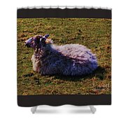A Sheep In Wales Shower Curtain