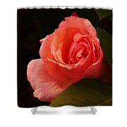 A Soft Rose  Shower Curtain