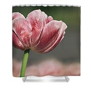 A Soft Tulip In Focus Shower Curtain