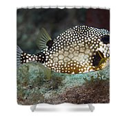 A Spotted Trunkfish, Key Largo, Florida Shower Curtain