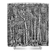 A Stand Of Aspen Trees In Black And White Shower Curtain