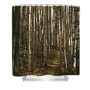 A Stand Of Birch Trees Show Shower Curtain