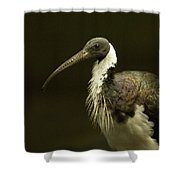 A Straw-necked Ibis Threskiornis Shower Curtain