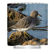 A Surfbird At The Tidepools Shower Curtain