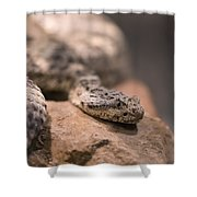 A Tiger Rattlesnake At The Henry Doorly Shower Curtain