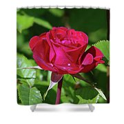 A Watered Rose  Shower Curtain