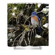 A Western Bluebird In A Tree Shower Curtain