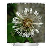 A Wet Dandelion  Shower Curtain