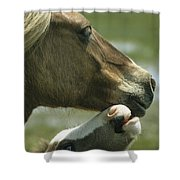 A Wild Pony Foal Nuzzling Its Mother Shower Curtain