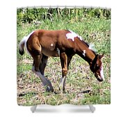 A Young Painted Colt  Shower Curtain