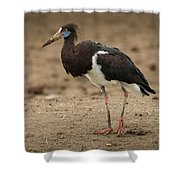 Abdim Stork Walks Right-to-left Across Muddy Ground Shower Curtain