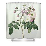 Adelia Aurelianensis Shower Curtain by Pierre Joseph Redoute