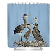 Adolescent Great Blue Herons Shower Curtain