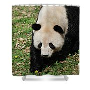 Adorable Face Of A Black And White Giant Panda Bear Shower Curtain