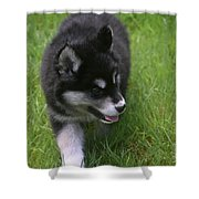 Adorable Fluffy Alusky Puppy Walking In Tall Grass Shower Curtain