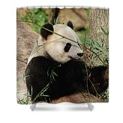Adorable Giant Panda Bear Eating Bamboo Shoots Shower Curtain