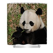 Adorable Giant Panda Eating A Green Shoot Of Bamboo Shower Curtain