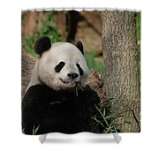 Adorable Giant Panda Eating A Shoot Of Bamboo Shower Curtain